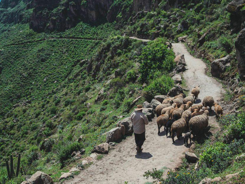 Pasterz z owieczkami na szlaku
