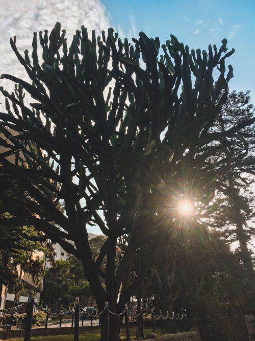 Drzewo-kaktus w Limie