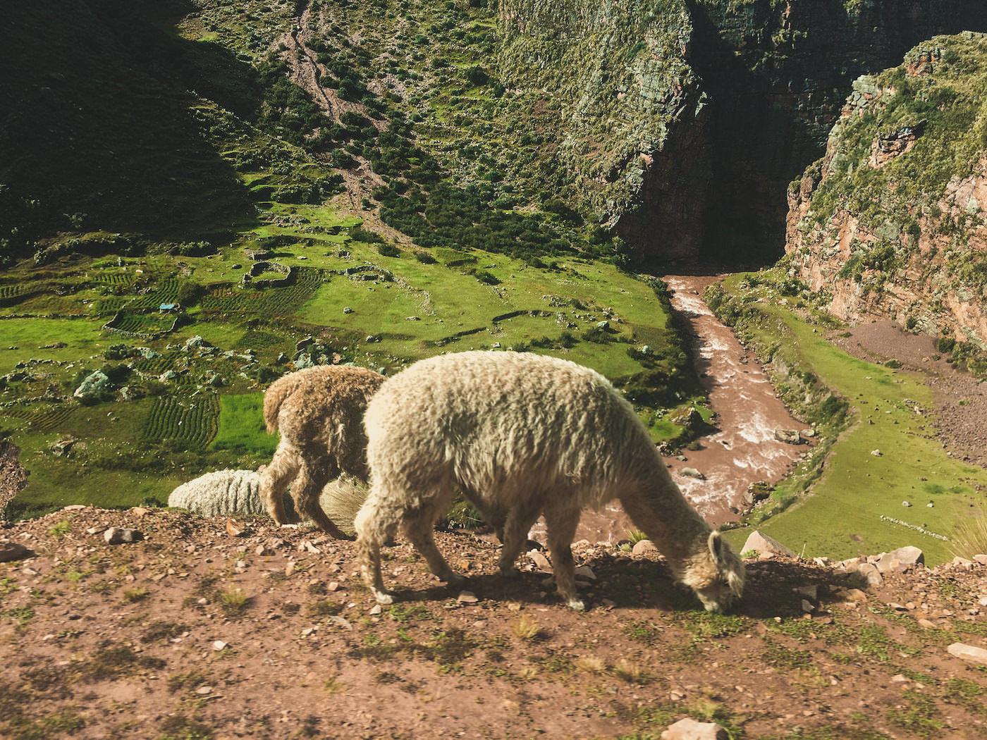 Lama przy drodze